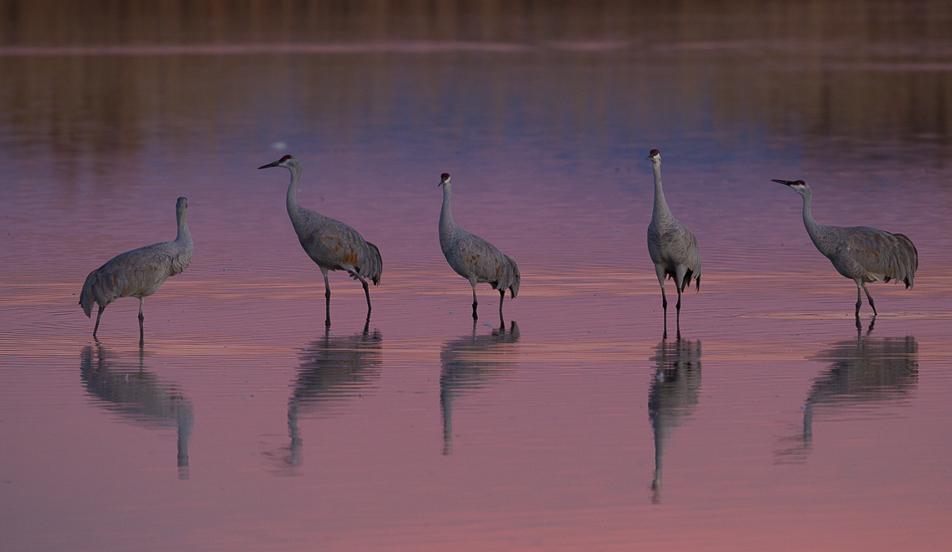 Sandhill Cranes - Manistee River