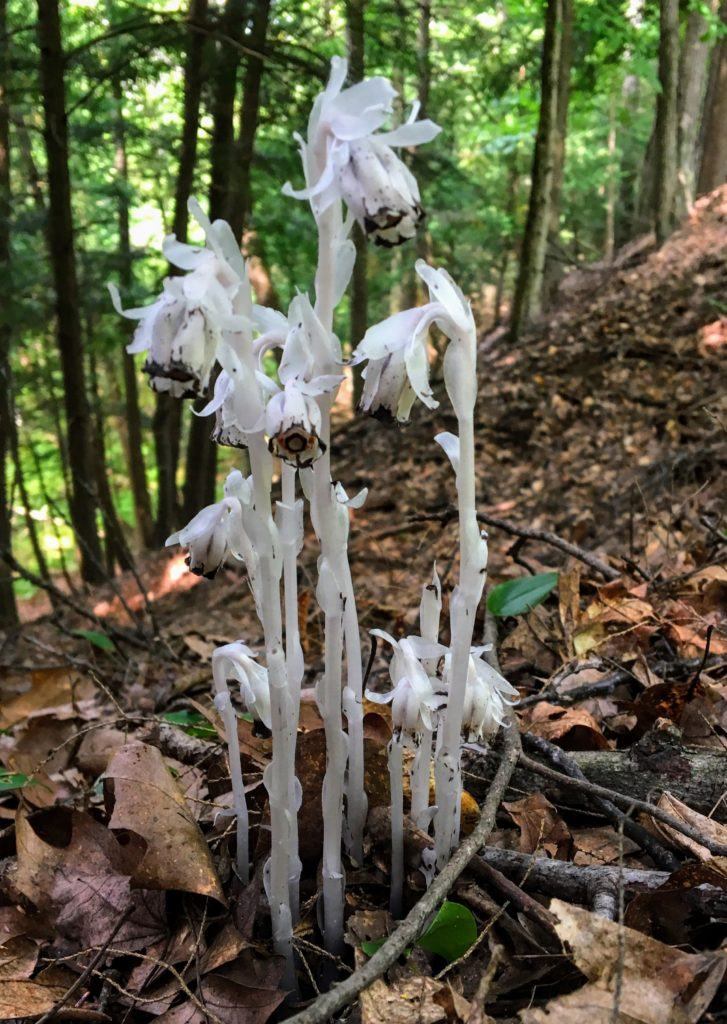 Monotropa Uniflora a.k.a Ghost Plant (or Ghost Pipe), Indian Pipe or Corpse Plant. Generally Scarce or Rare in Occurrence - Manistee River Trail