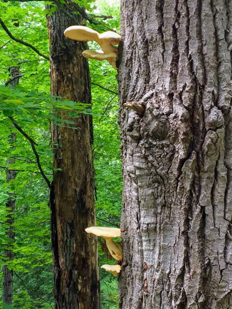 Mushrooms - Manistee River Trail
