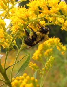 Bumble Bee - Manistee River Trail