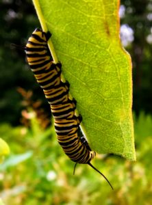 Monarch Butterfly Larvae (Caterpillar) - Manistee River Trail