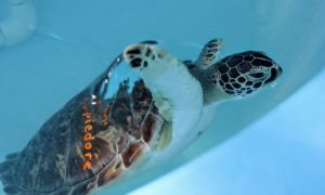The Turtle Hospital: Saving Sea Turtles in Florida