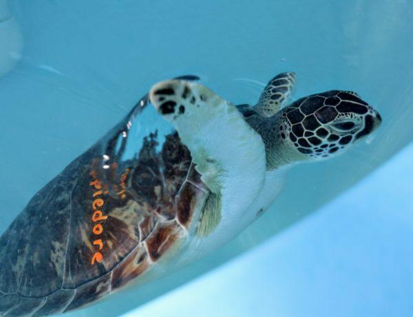 The Turtle Hospital: Saving Sea Turtles in Florida