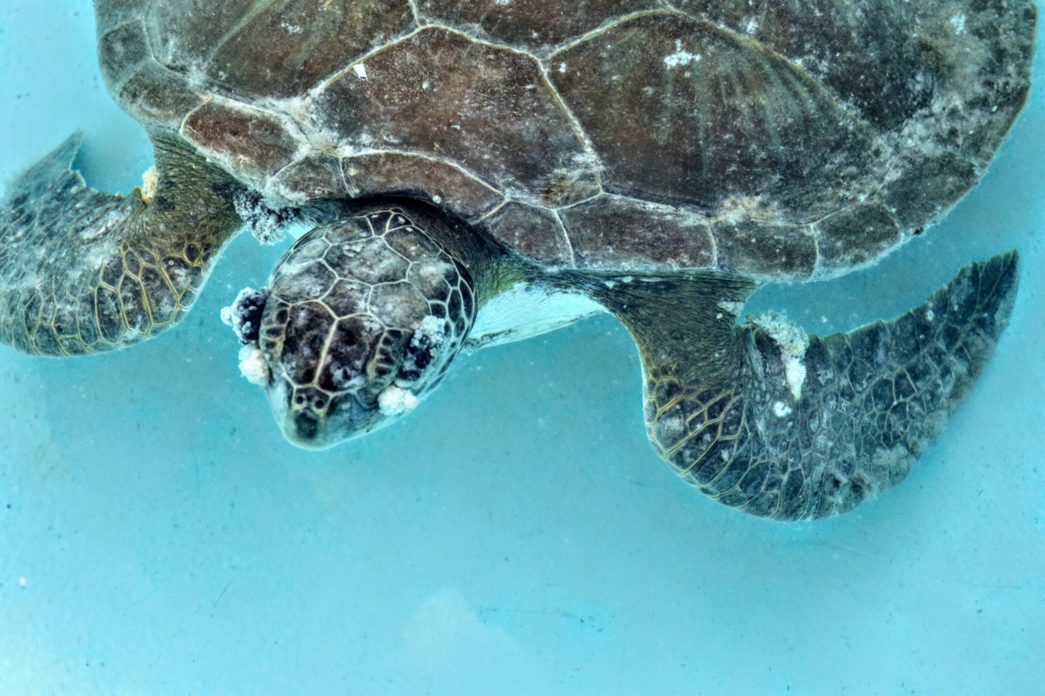 Alex, a Green sea turtle with debilitating FP eye tumors covering both eyes.