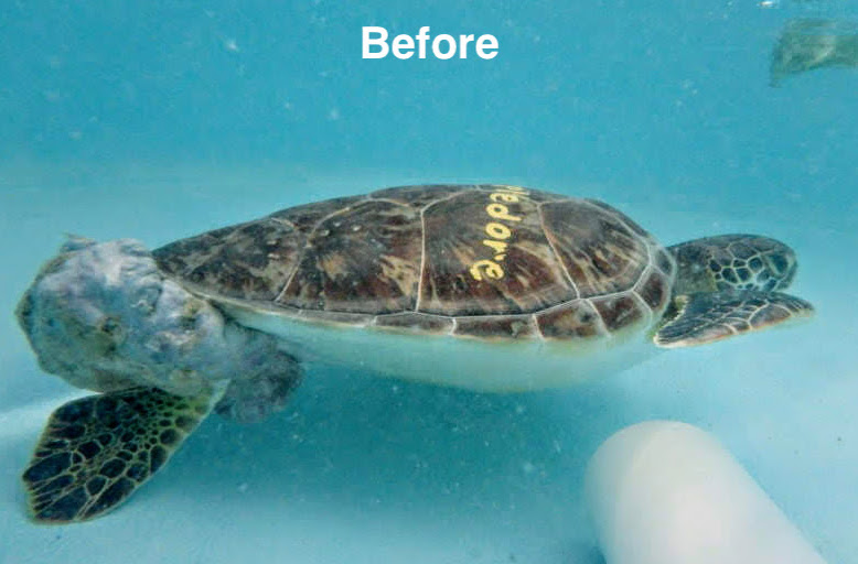Appledore, a young female sea turtle with a huge tumor on her backside before her surgery.