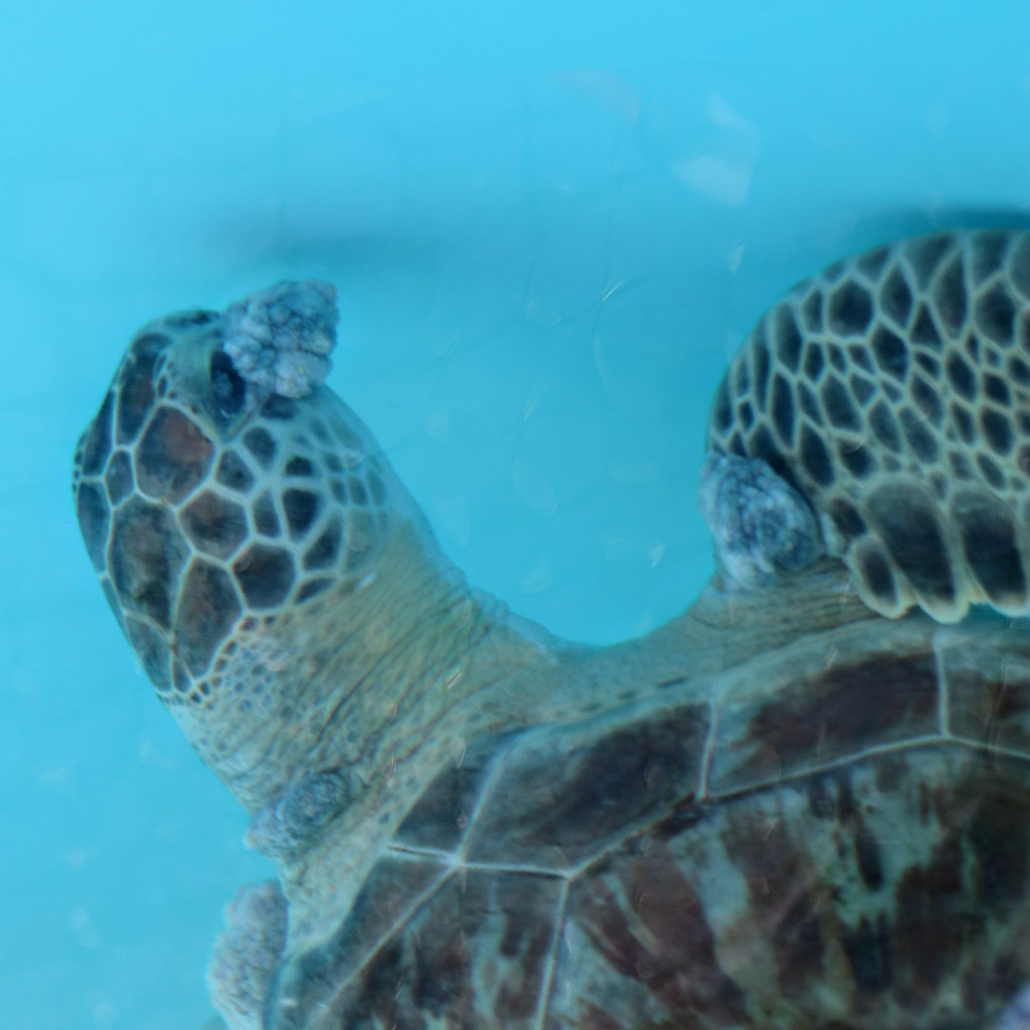 Closeup of Camo, a Green sea turtle swimming in treatment tank with large FP eye tumor.