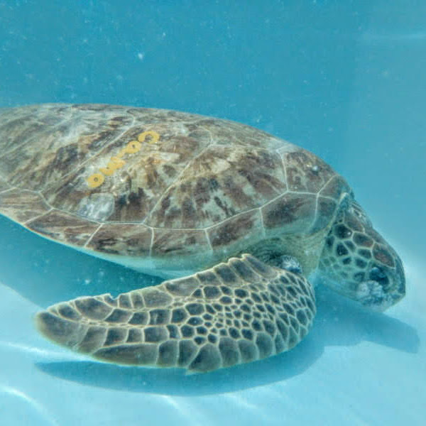 Camo, a Green sea turtle swimming in treatment tank with large FP eye tumor.