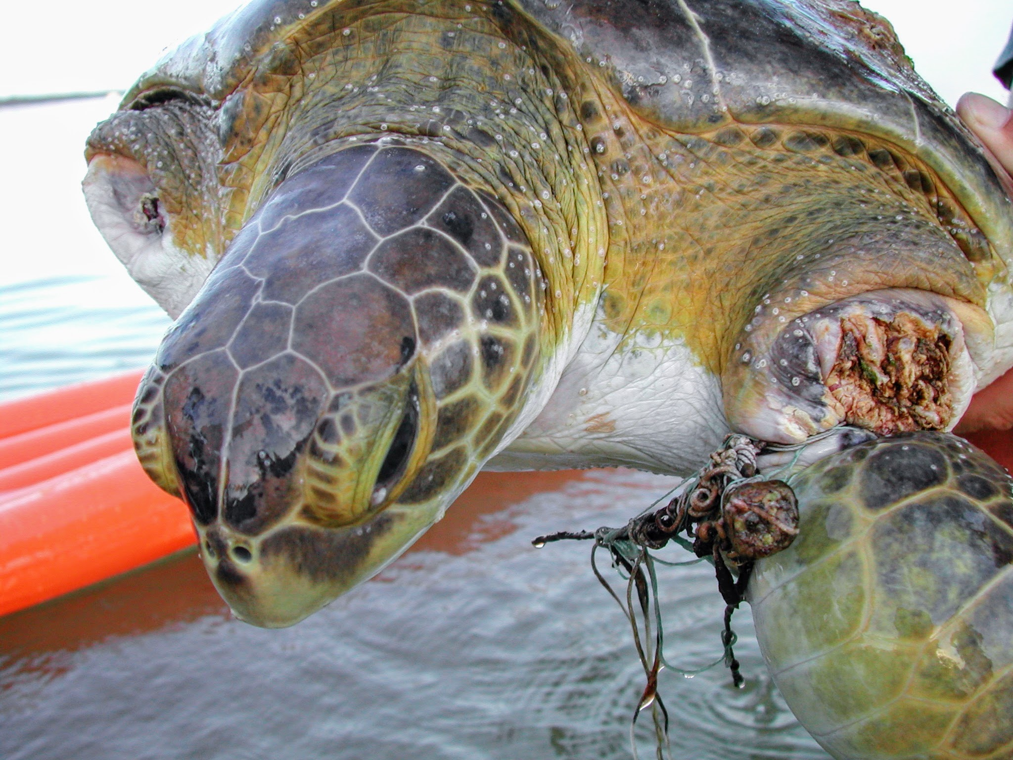 Green sea turtle with front left flipper almost falling off because of fishing line injury.
