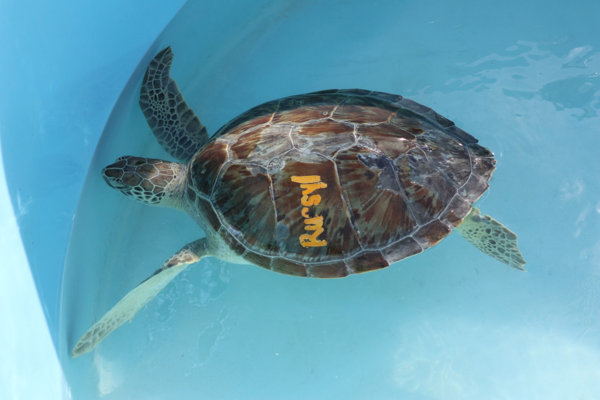 Green sea turtle with FP virus in individual treatment tank at the Turtle Hospital