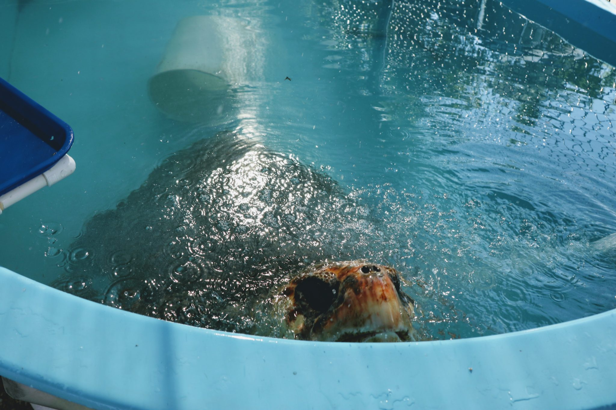 Large Loggerhead sea turtle in his treatment tank poking his nose out of the water