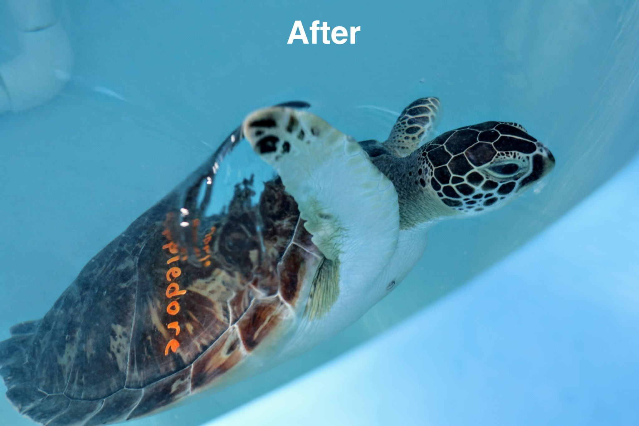 Appledore, a young female sea turtle looking beautiful and healthy after her surgery that removed a huge FP tumor.