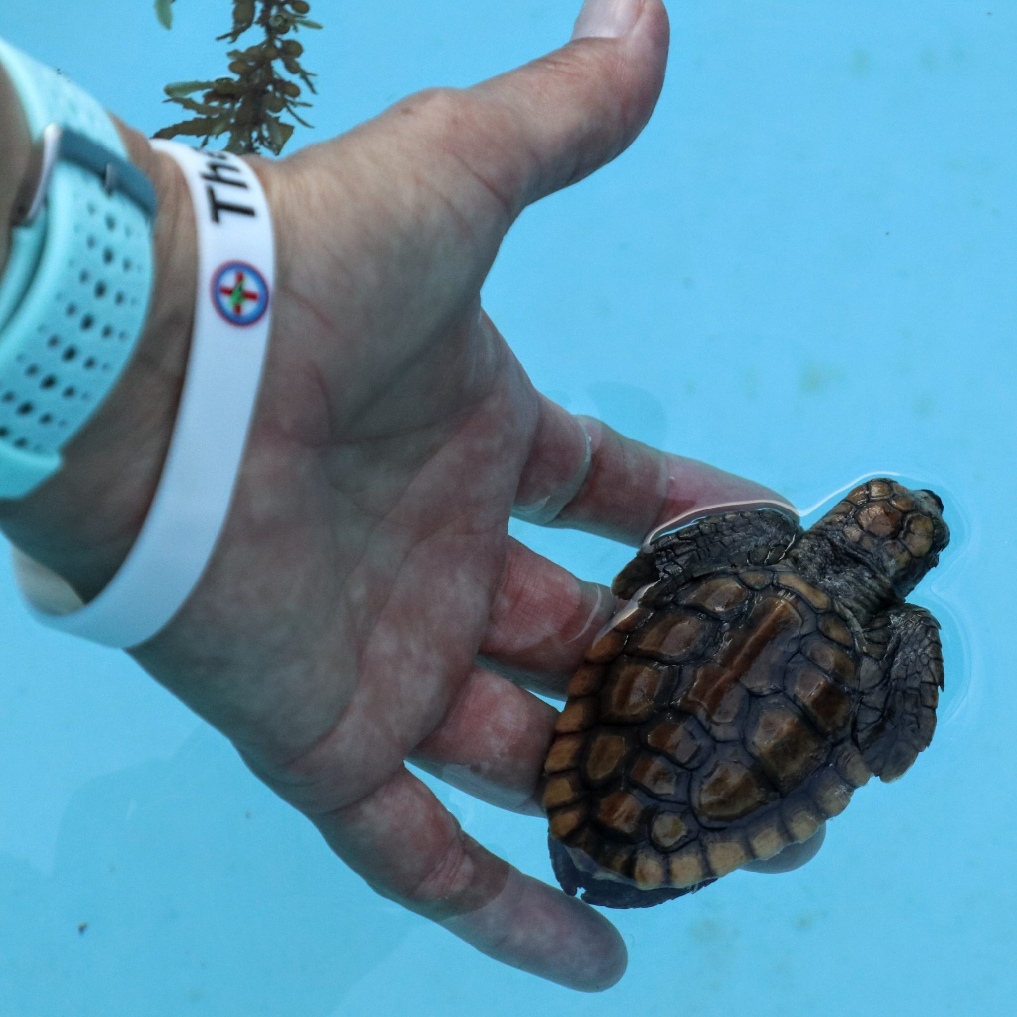 The Turtle Hospital director, Bette Zirkelbach holding a baby loggerhead hatchling above the water.