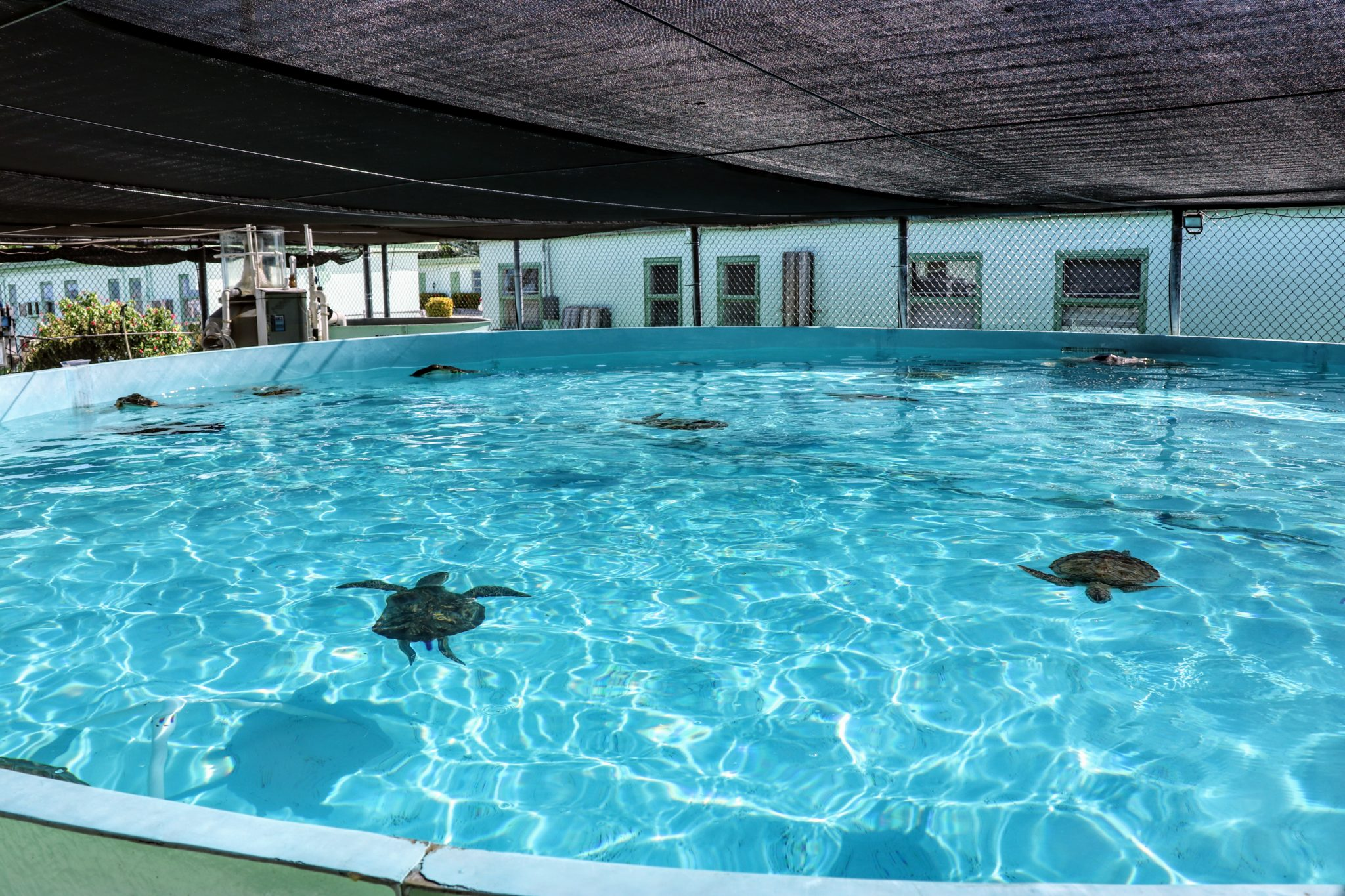 30,000 gallon pool at the Turtle Hospital with lots of sea turtles swimming in it