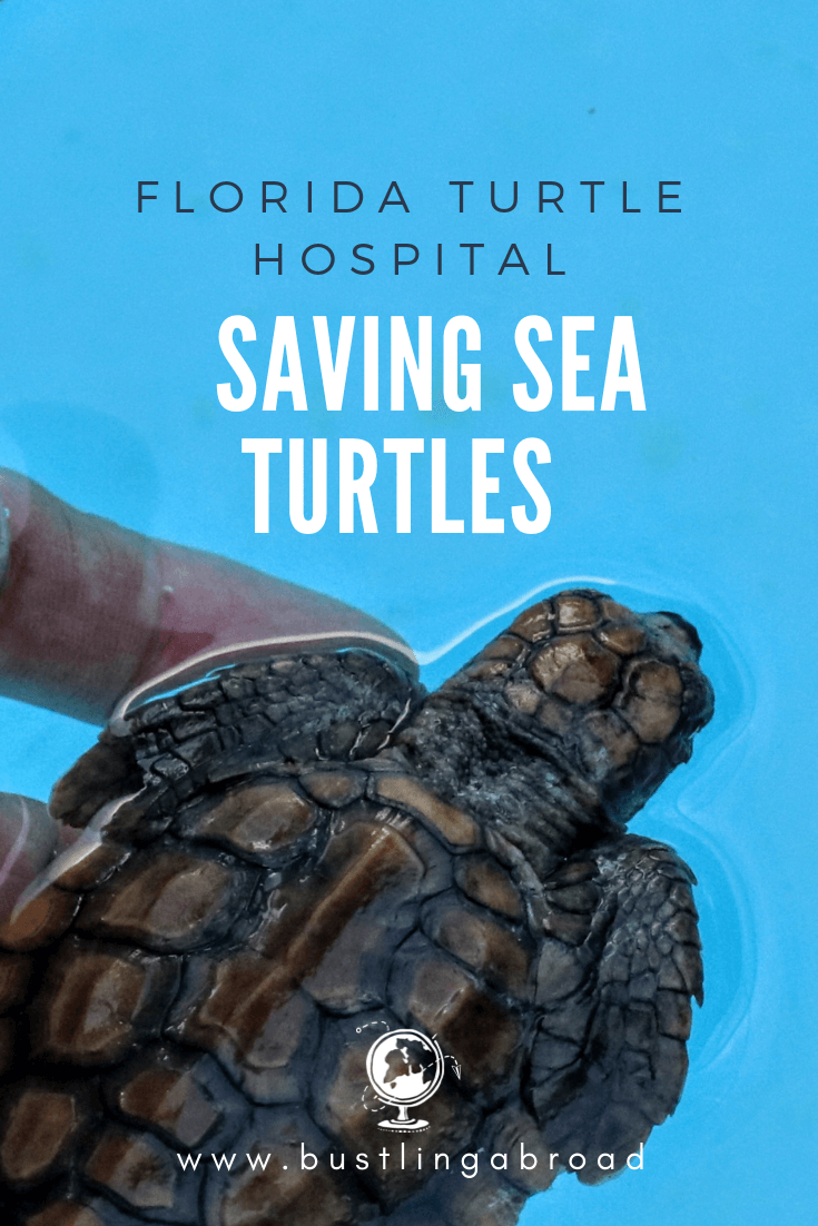 The Turtle Hospital Saving Sea Turtles in Florida_baby (1)