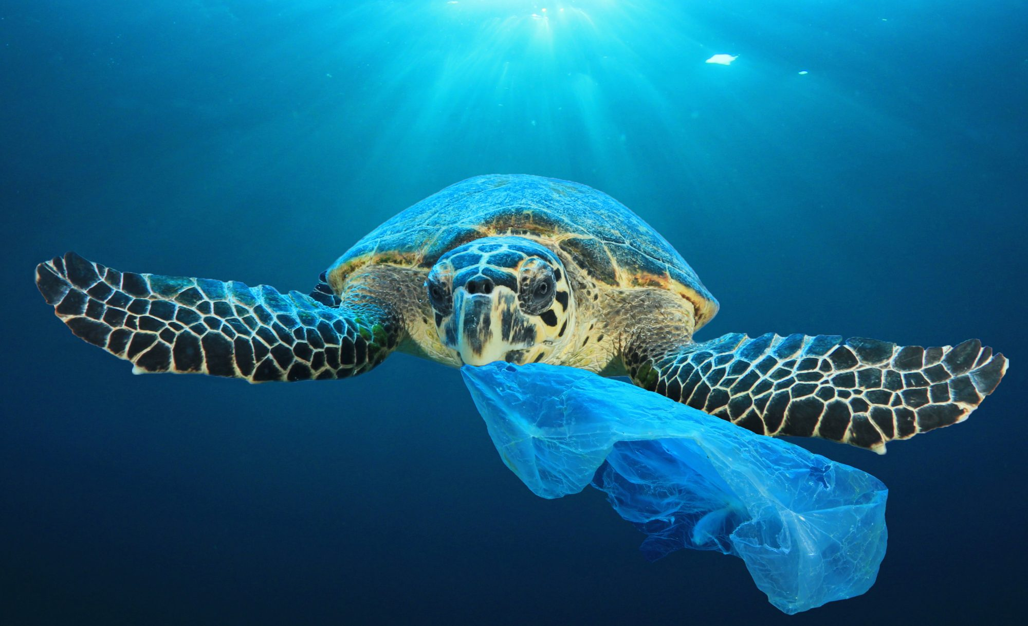 Green sea turtle eating a plastic bag