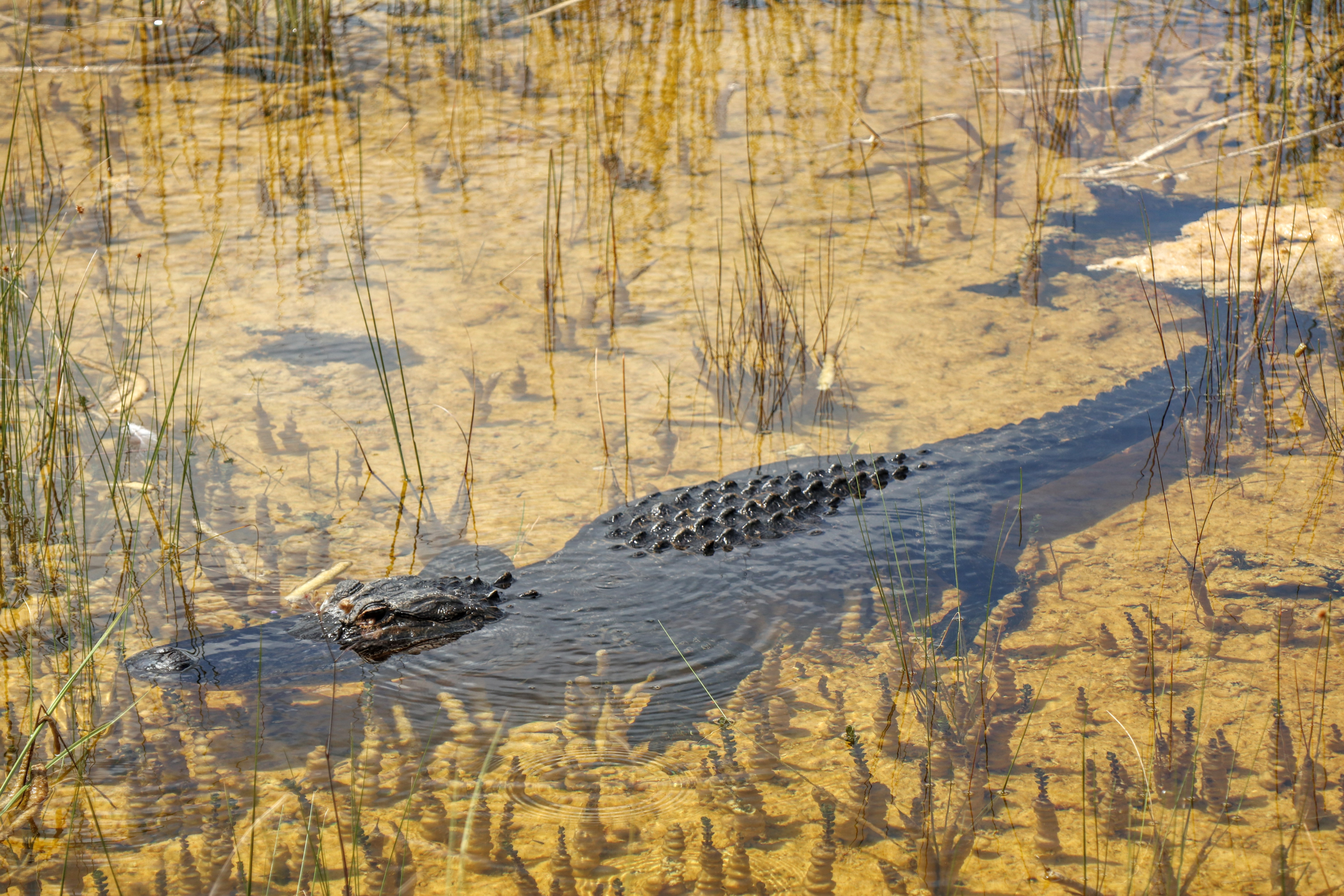 American Alligator in shallow water - Shark Valley Everglades National Park