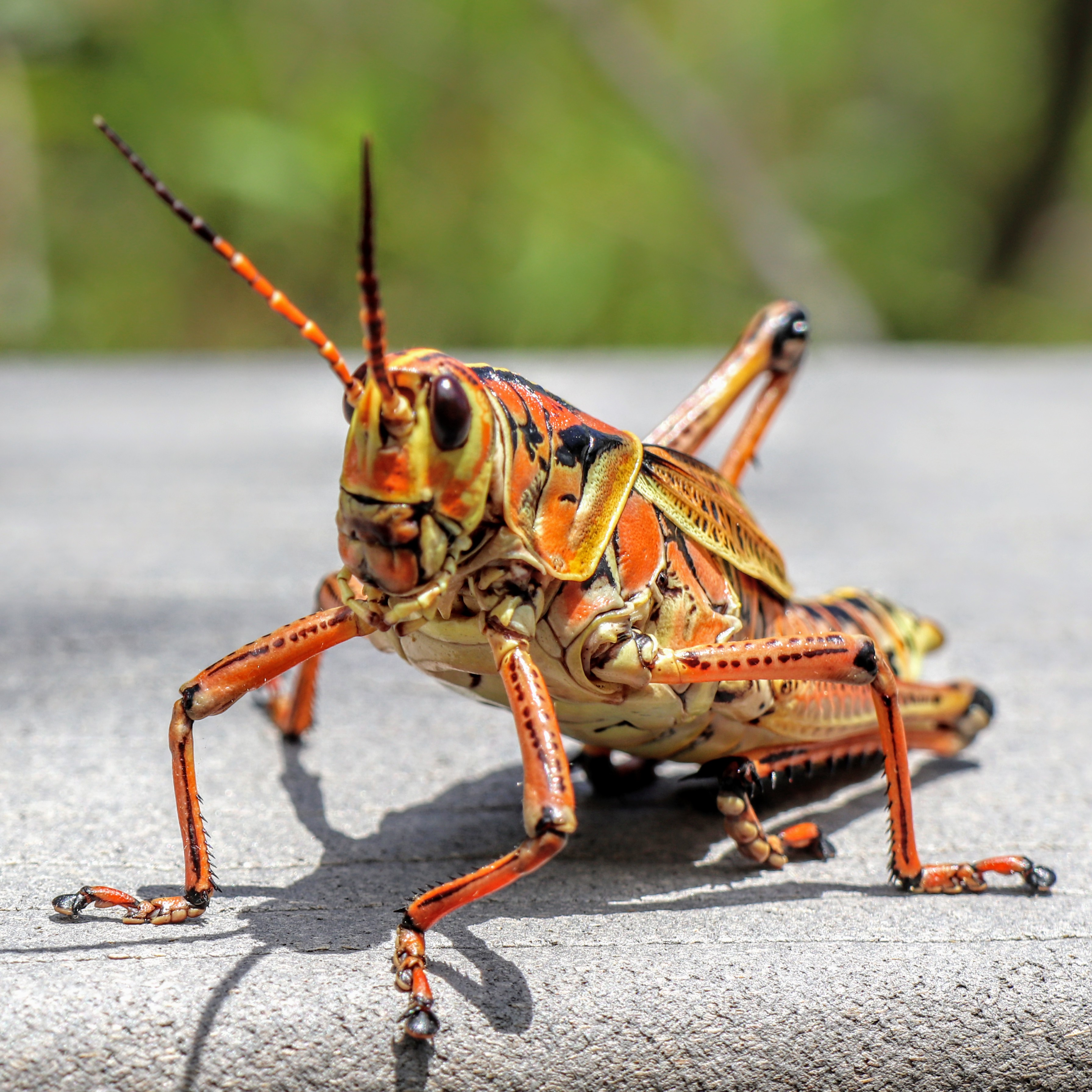 Closeup of Orange Eastern Lubber Grasshopper in Shark Valley Everglades National Park