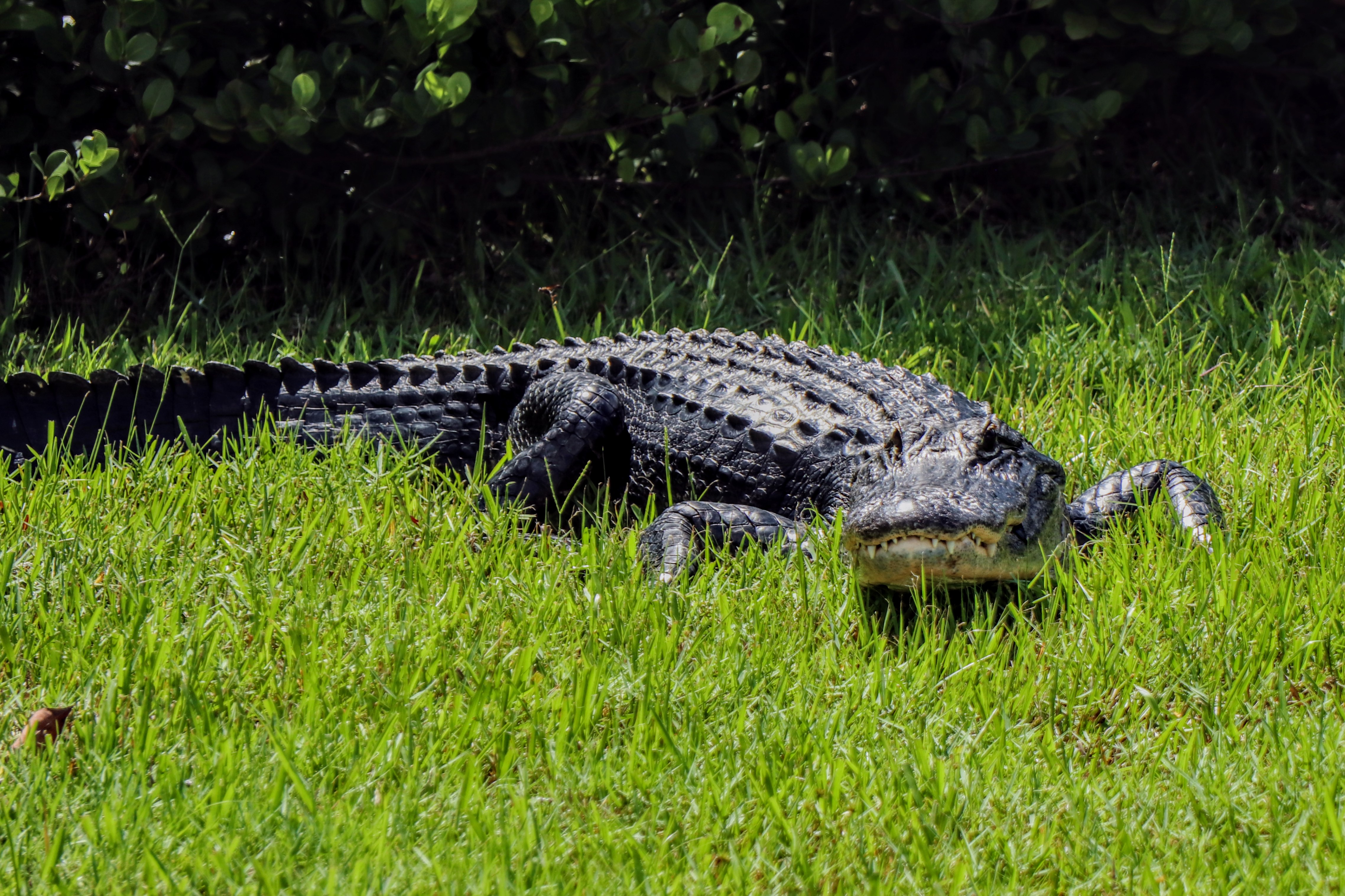 American Alligator sunbathing on the grass - Shark Valley Everglades National Park