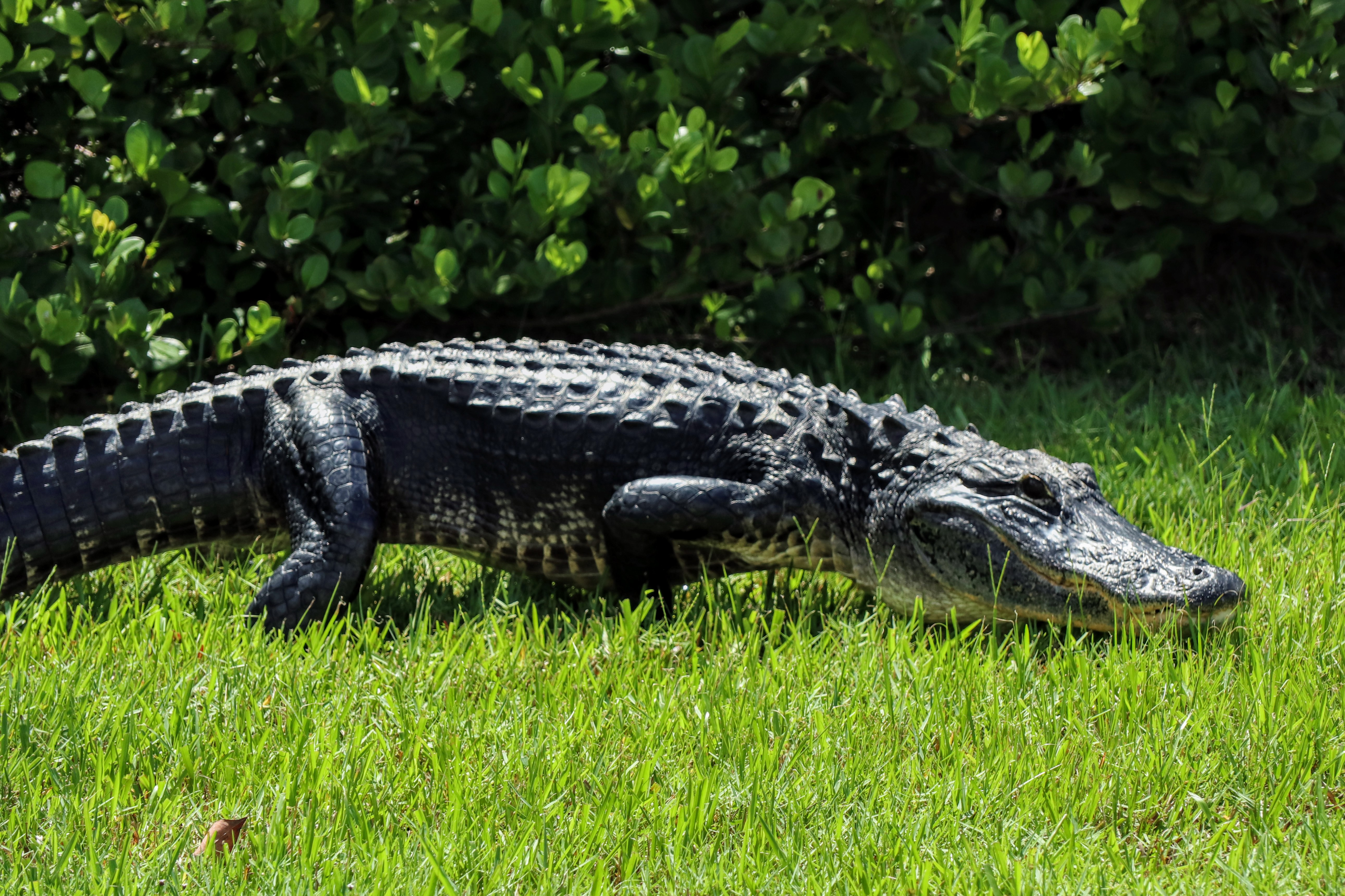 American Alligator walking on the grass - Shark Valley Everglades National Park