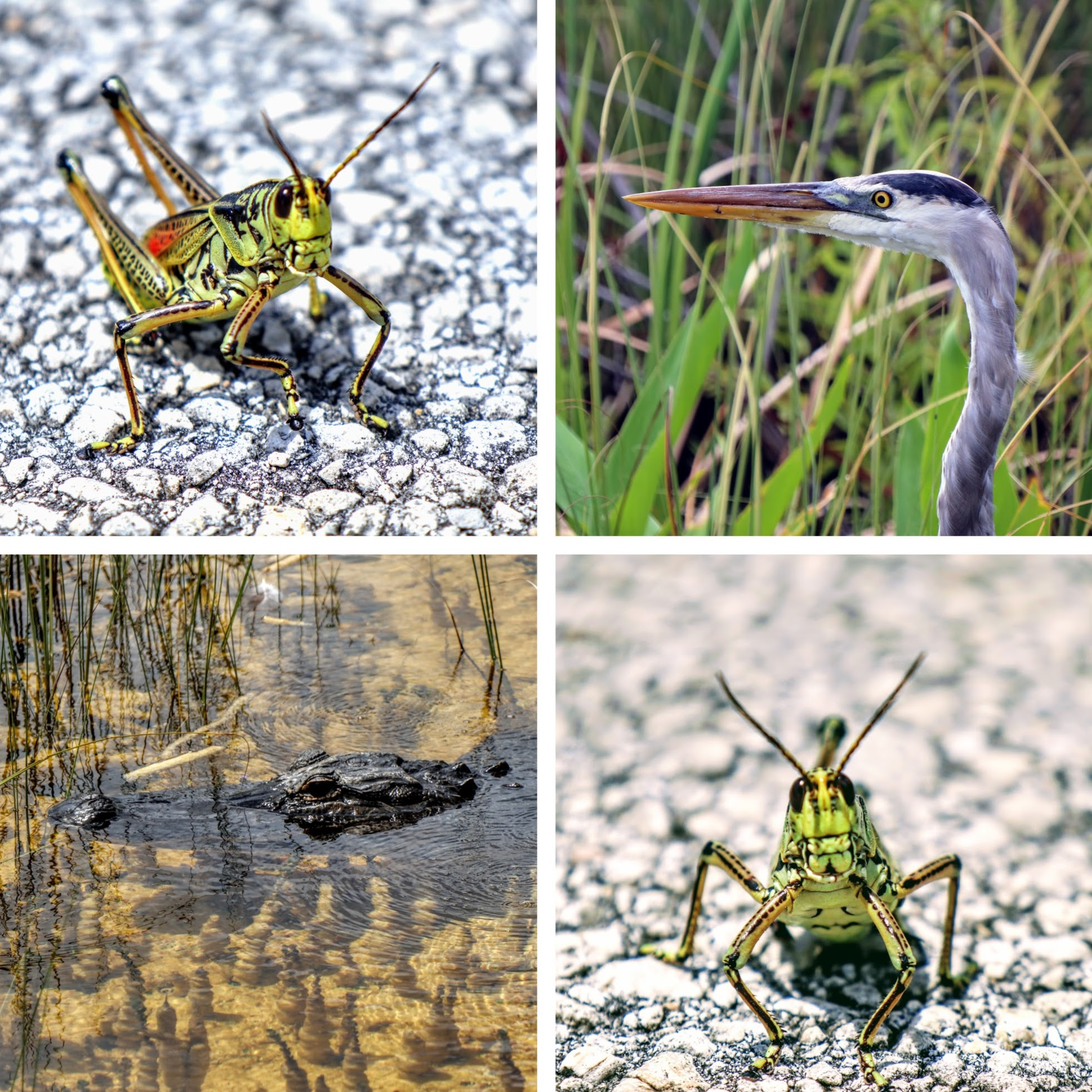 Collage of wildlife found in Shark Valley Everglades National Park